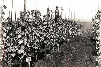 Trsnica v Metliki leta 1909